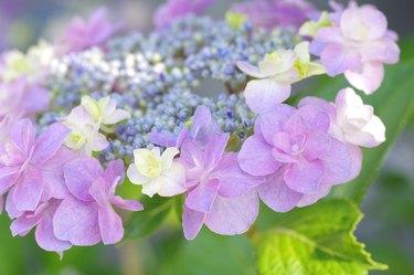 Close-up of hydrangea flowers