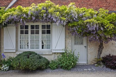 Wisteria in full bloom surrounds the front of a house in Saint-Dye-Sur-Loire, France. This small village is found on the edge of the Loire river.