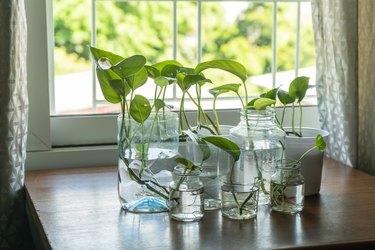 Devil's ivy in reused plastic and glass bottles