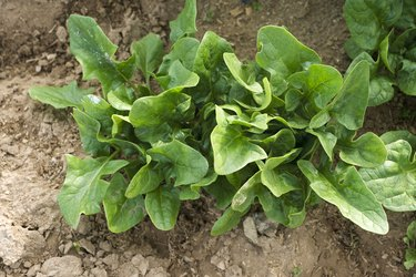Spinach growing in vegetable garden