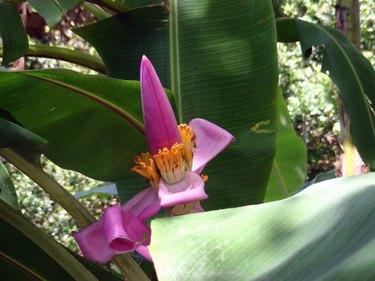 Close-Up Of Pink Banana Flower