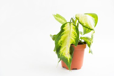 Wilted potted houseplant