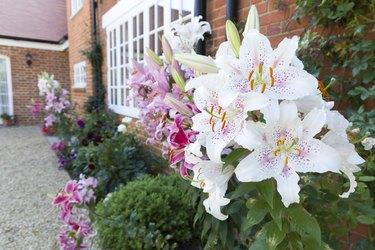 Oriental lilies in an English garden border UK