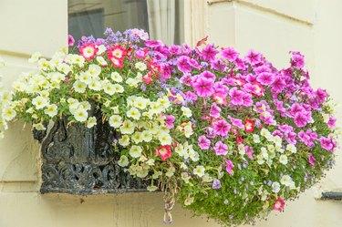 Multi-Colored Petunia Flowers