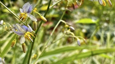 delicate violet and white colored tasmanian flax-lily / dianella tasmanica