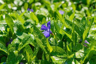 Green leaves of Vinca plant with purple flowers after rain