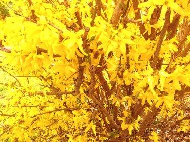 Full Frame Shot Yellow Forsythia Flowers On Branch