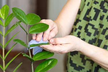 Female hands taking care of plants at her home, wiping the dust from flower's leaves