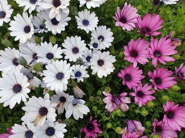 Dimorphotheca ecklonis or Osteospermum or African Daisy flowers in full bloom