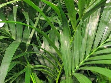 Potted green Areca palm leaves / fronds / Chrysalidocarpus lutescens houseplant image