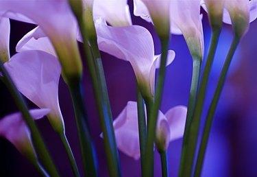 lilies vs calla liles