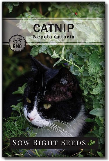 Catnip leaves can also be used to make tea.