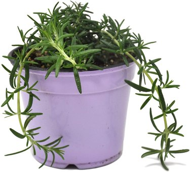 Prostrate rosemary has trailing stems.