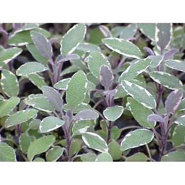 Tricolor sage has variegated foliage.