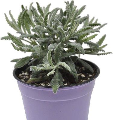 Use lavender in potpourri.