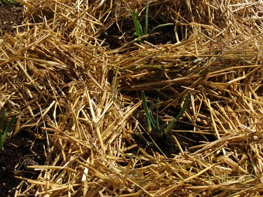 Young plants surrounded by straw mulch.