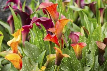 Calla lily field