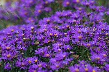 Italian garden flowers-asters