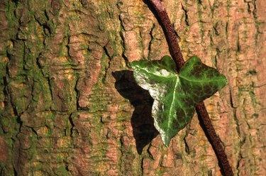 English ivy leaf.