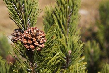 Branch of Pinus mugo in the mountains, Austria