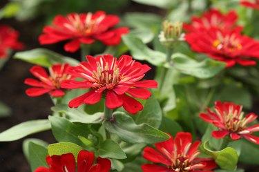 red zinnia flower in the gardein