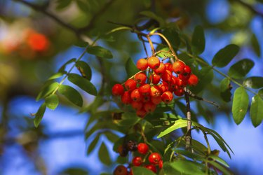 Ashberry in autumn