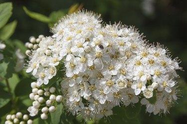 Flowers viburnum opulus.