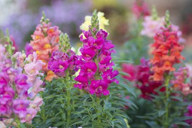 Snap dragon (Antirrhinum majus)