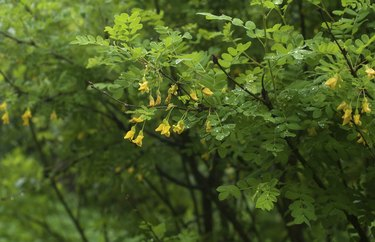 Acacia branch with rain drops and  flowers