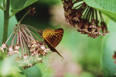 Butterfly nectaring on milkweed flowers