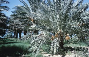 Row of date palm trees
