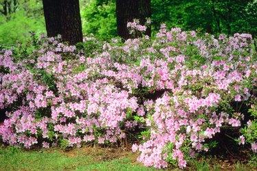 Blossoming shrubs