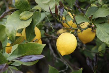 fresh lemon on tree