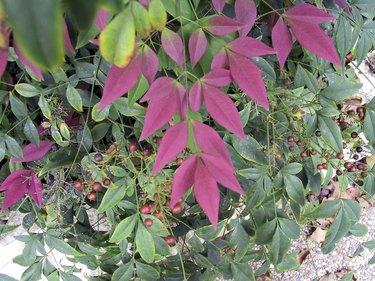 Nandina Fall Color