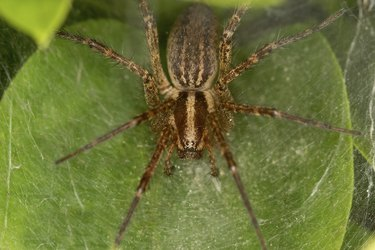 Funnel spider