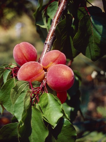 Photo, close-up of peaches on a tree branch, Color