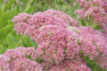 spirea flower in nature