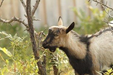gray goat eating bark