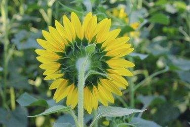 Sunflower back side