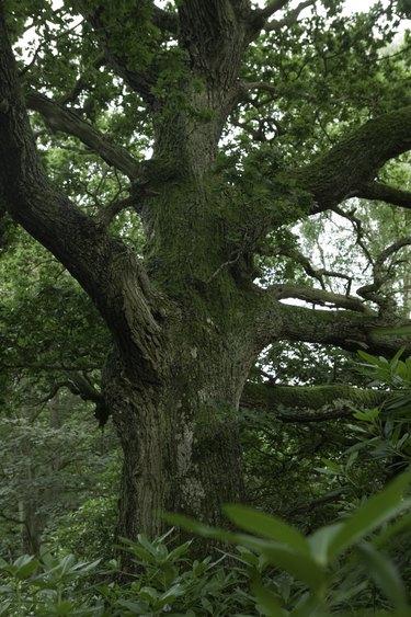 Gnarled single oak tree growing in forest