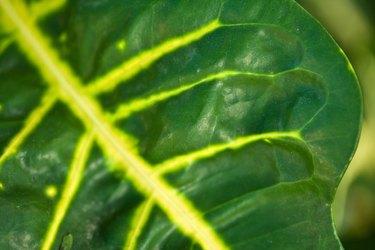 Variegated leaf of tropical flora