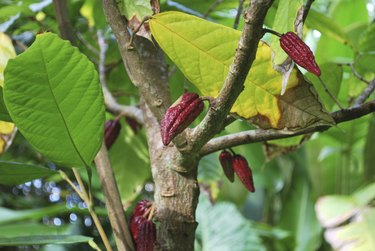 Cocoa Plant with Fruit.