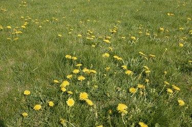 Dandelions growing in a field