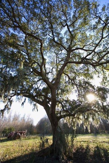Tree in bright sunshine, Forked Island, Louisiana