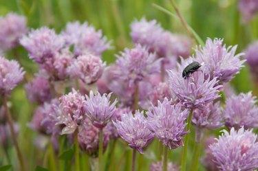 Scarab beetle on lavender wildflowers in France