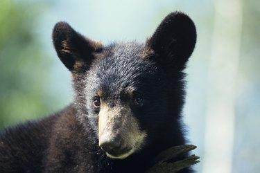 American black bear (Ursus americanus) cub, headshot, Minnesota, USA