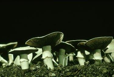 cultivated mushrooms, agaricus biporus