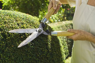 Woman trimming hedges with shears