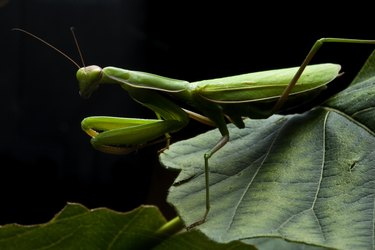 Praying mantis on leaf