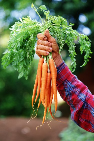 Hand holding carrots